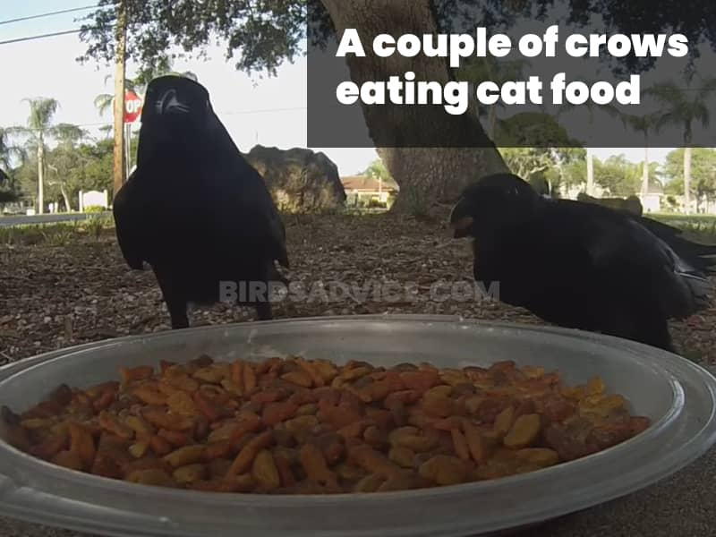 A couple of crows eating cat food