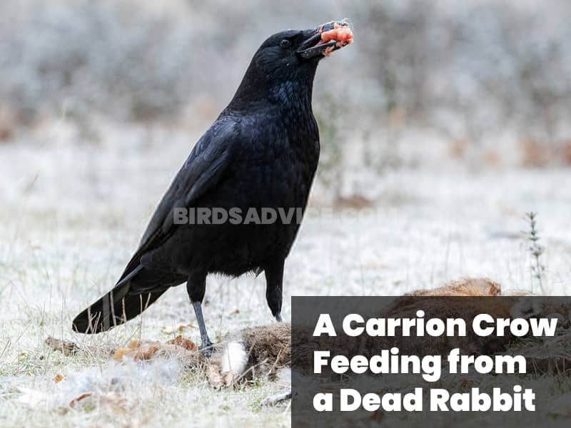 A carrion crow feeding from a dead rabbit