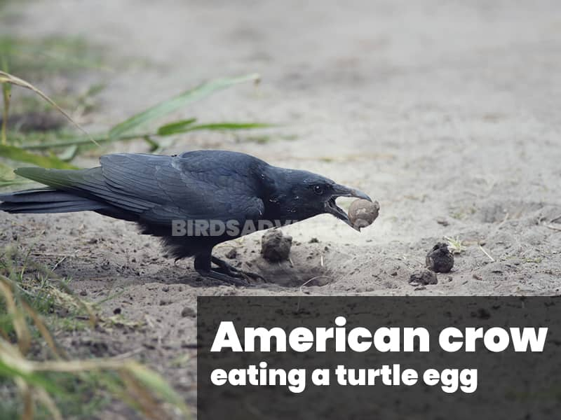 American crow eating a turtle egg