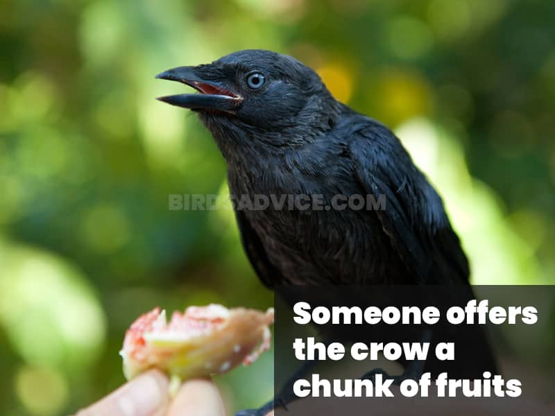 Someone offers the crow a chunk of fruits