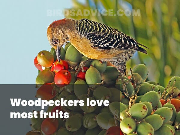 Woodpeckers love fruits
