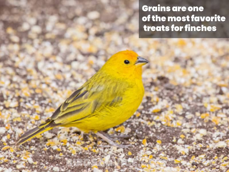 Grains food for finches