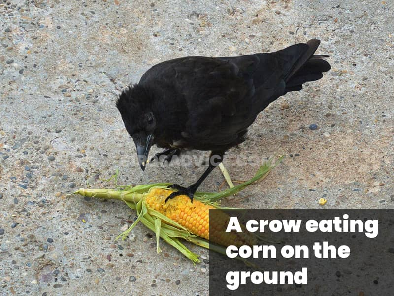 A crow eat corn on the ground