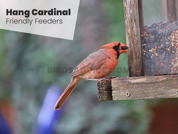 Hang Cardinal-Friendly Feeders