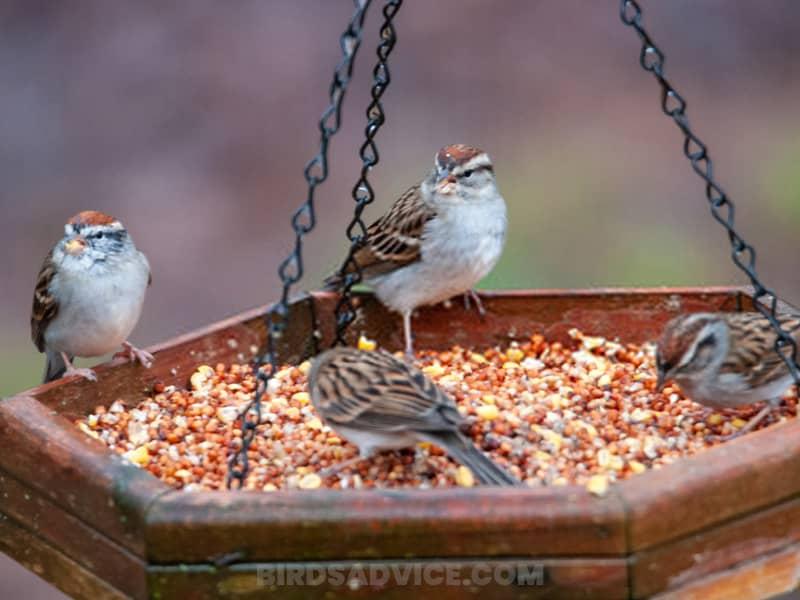 Hang sparrow friendly feeders