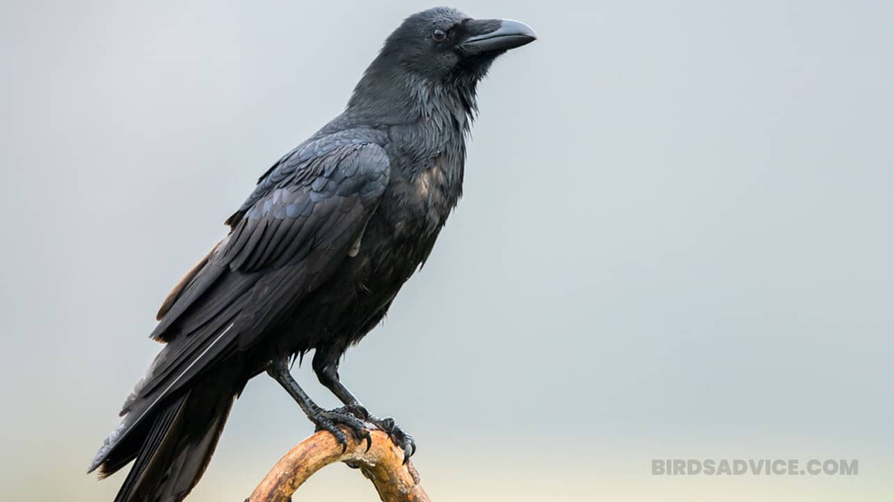 How To Get Rid Of Crows | 12 Easy Methods