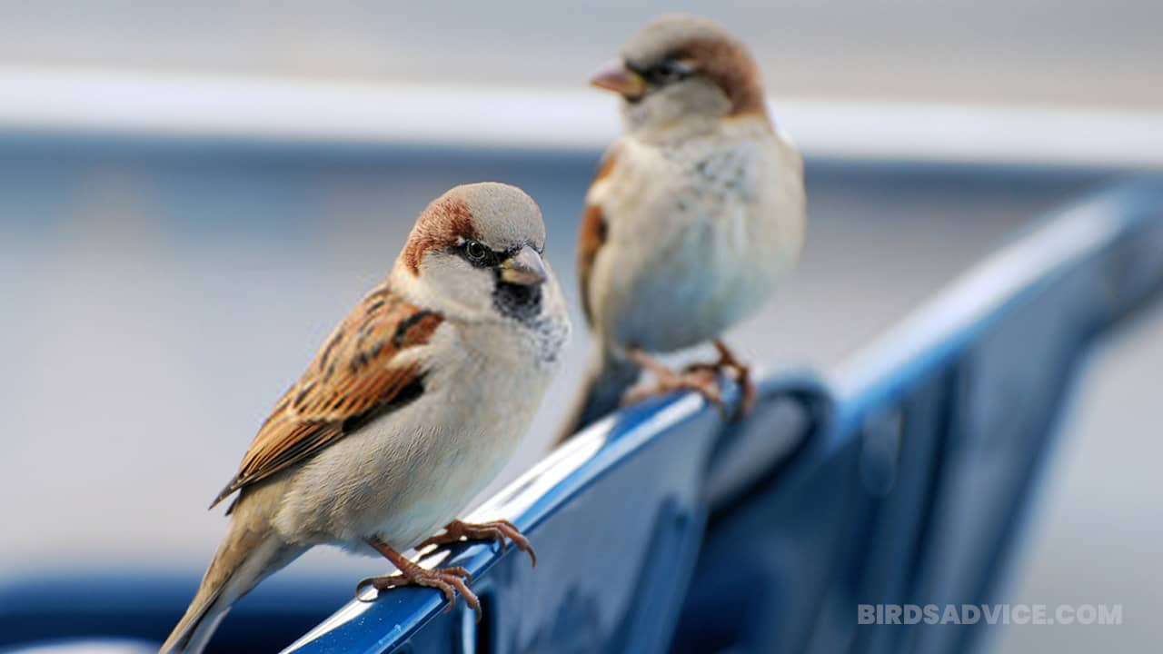 How To Get Rid Of Sparrows | 4 Useful Methods