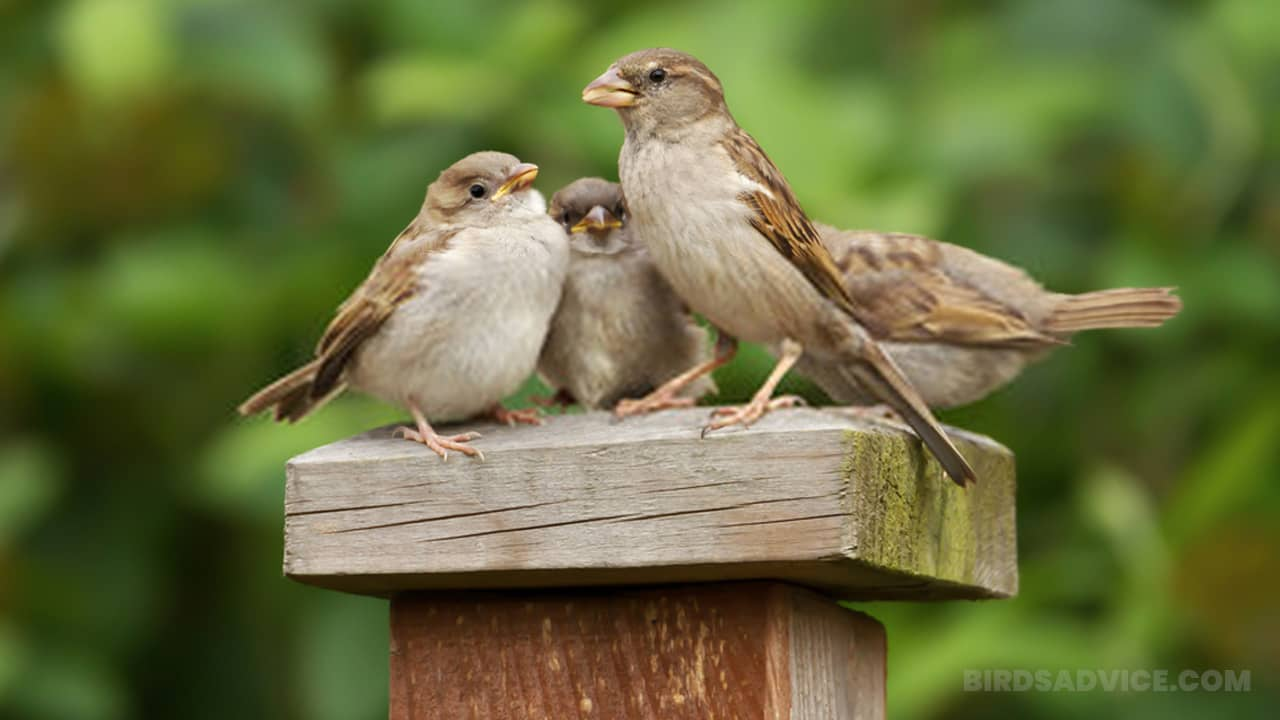 How to attract sparrows