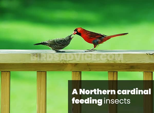 Insects for cardinals