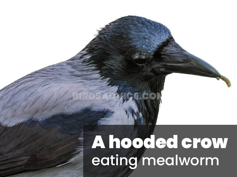 A hooded crow eating mealworm