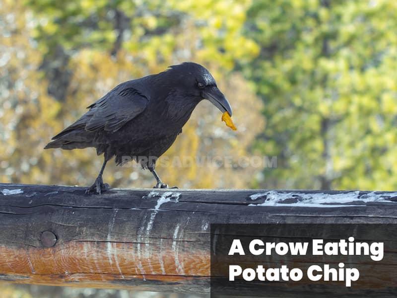 A crow eating potato chip