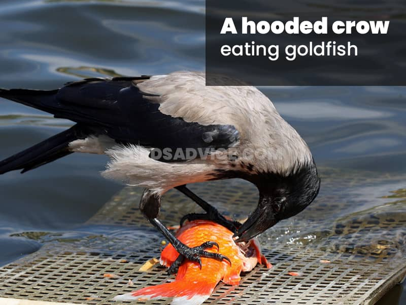 A hooded crow eating goldfish