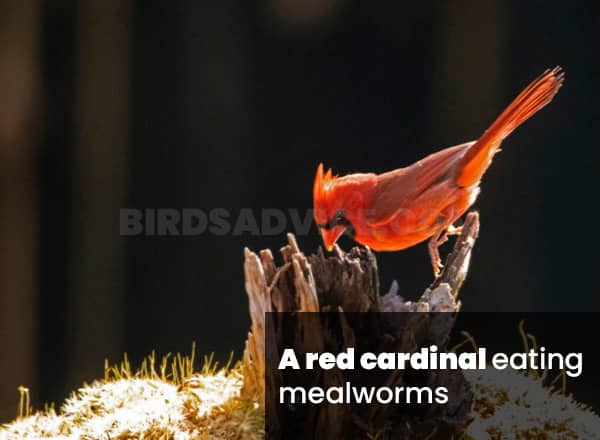 Mealworms for cardinals