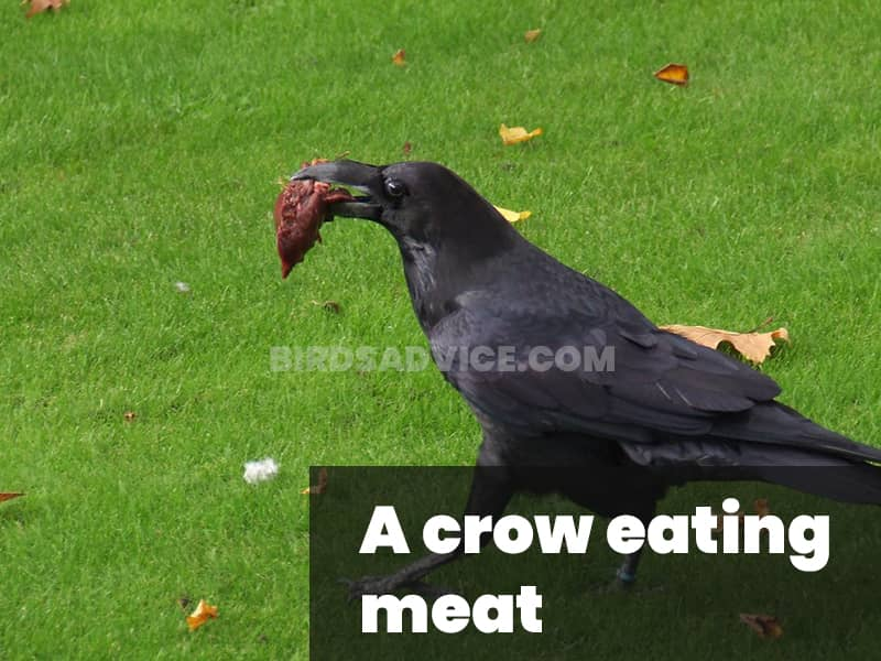 A crow eating meat