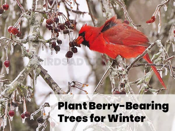 Plant Berry-Bearing Trees for Winter