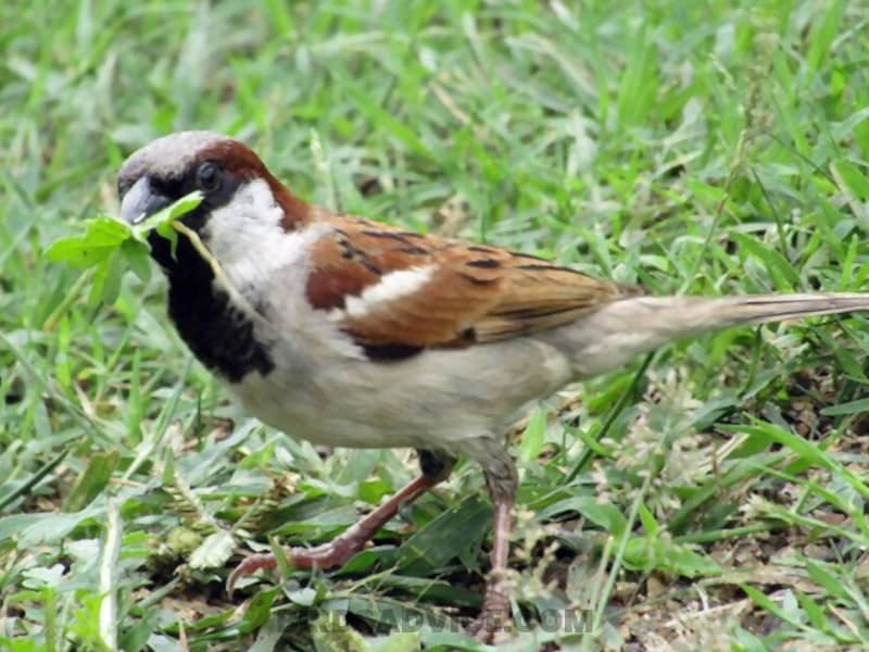 Sparrow eating plants