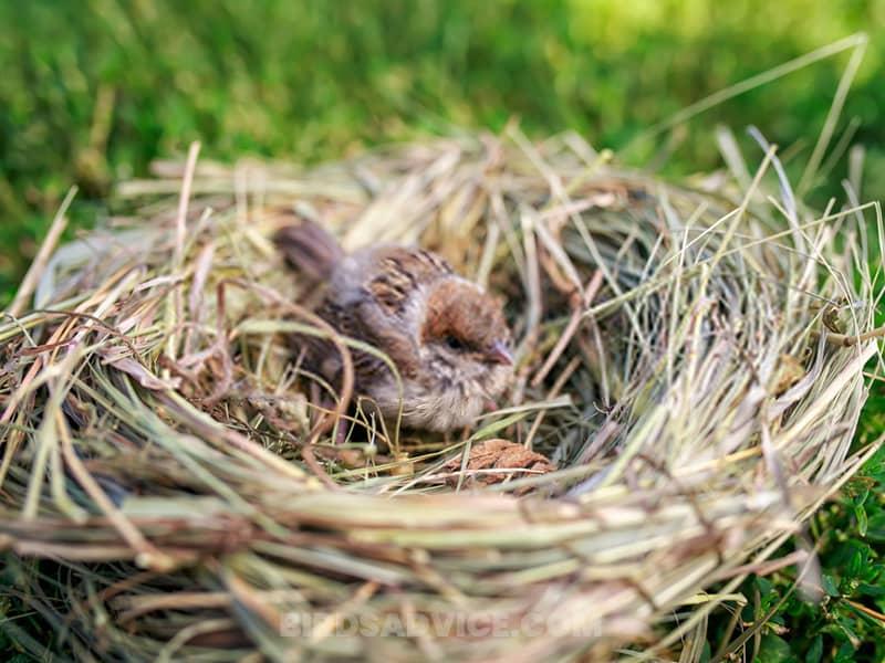 Remove sparrow nests