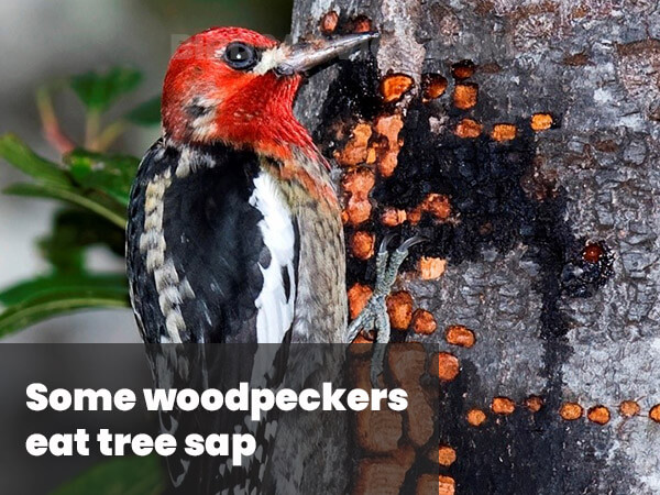 Some woodpeckers eat tree sap