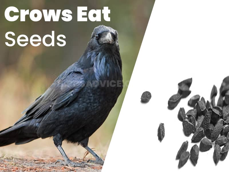 Crows eat seeds