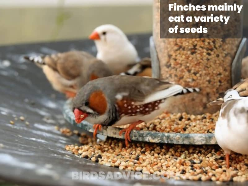 Seed food for finches