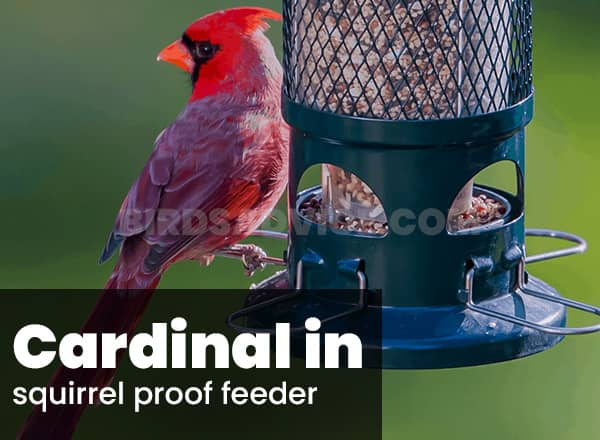 Squirrel proof feeder for cardinals