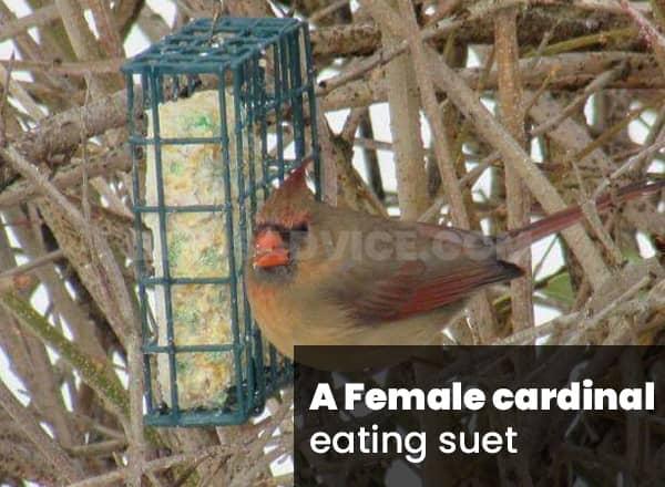 Suet for cardinals
