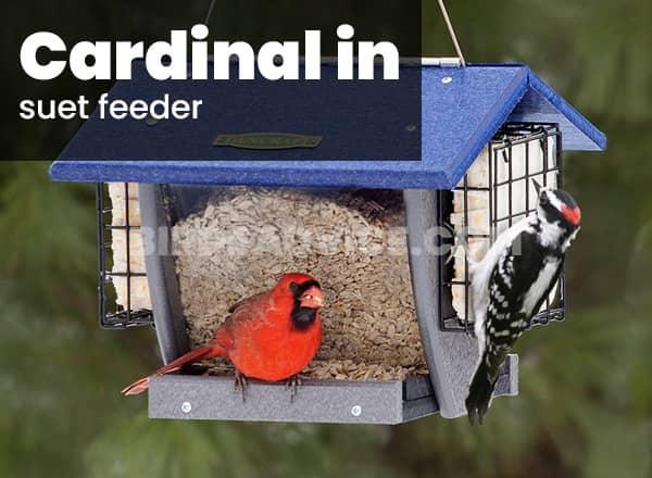 Suet feeder for cardinals