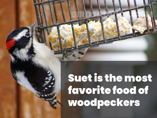 Suet For woodpeckers