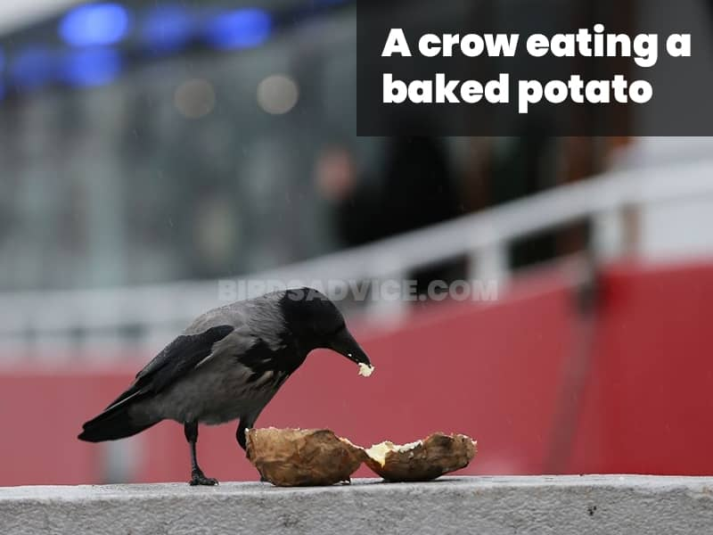 A crow eating a baked potato