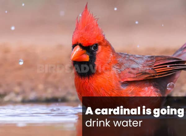 Cardinals is going drink water