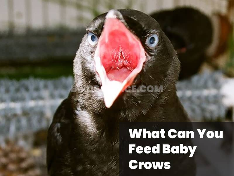 What can you feed baby crows