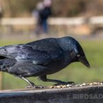 What Do Crows Eat? A Complete List of Crow Diet