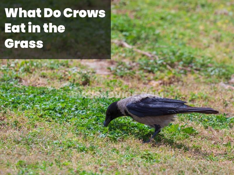 What do crows eat in the grass