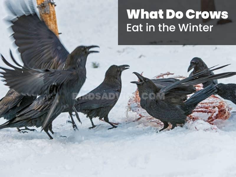 What do crows eat in the winter