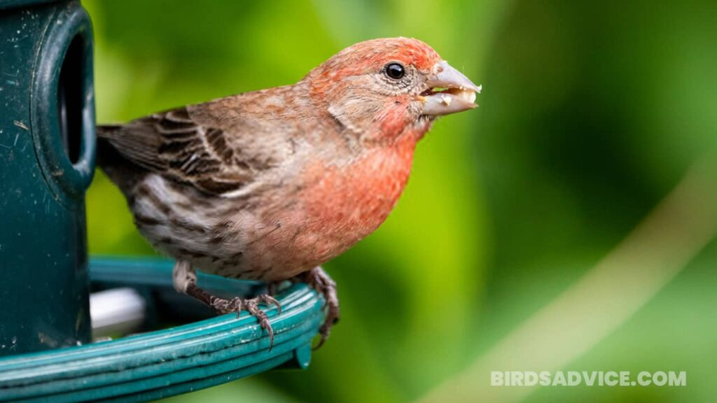 What do finches eat