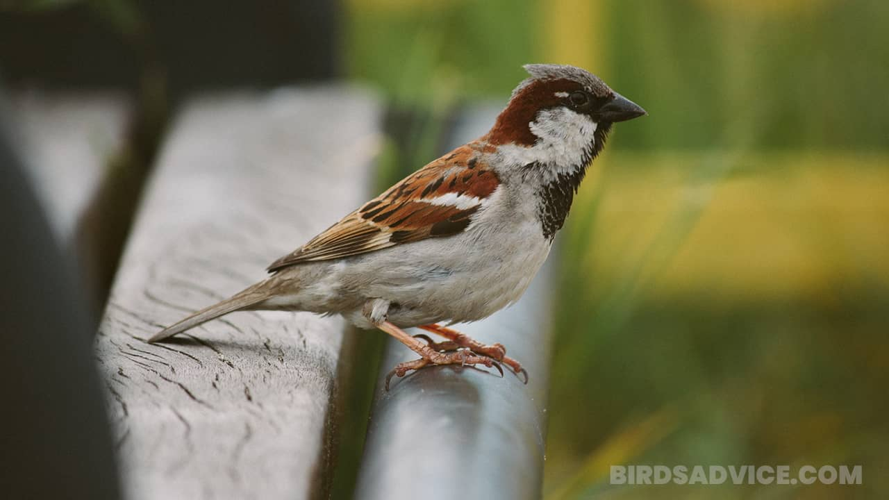 What Do Sparrows Eat? A Complete Guide Of Feeding Sparrows
