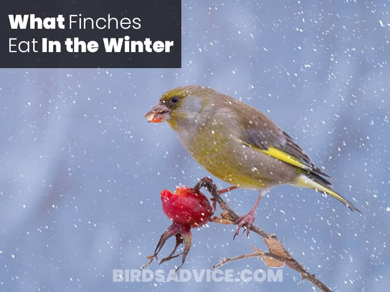 What Finches Eat In the Winter