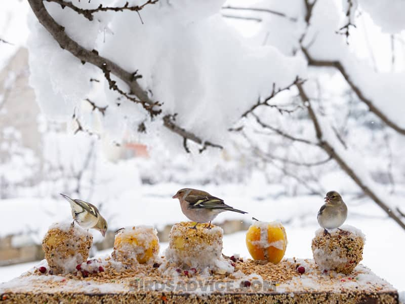 What sparrows eat in the winter