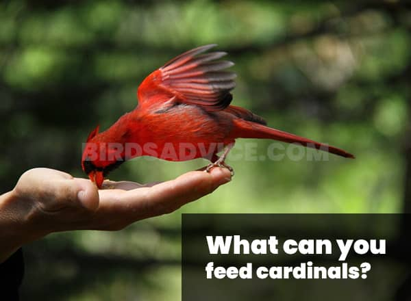 What can you feed cardinals