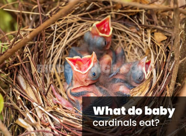 What do baby cardinals eat
