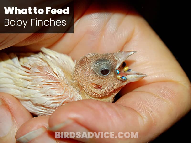 What to Feed Baby Finches
