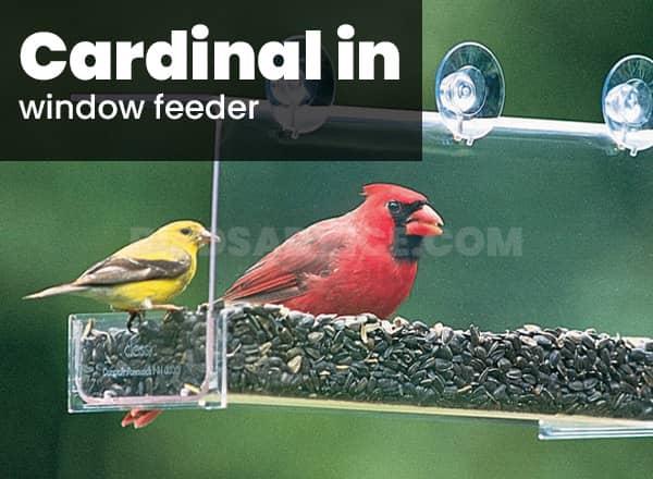 Window feeder for cardinals