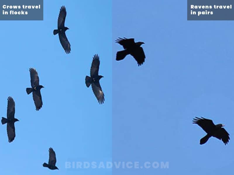 Behavior crows vs ravens