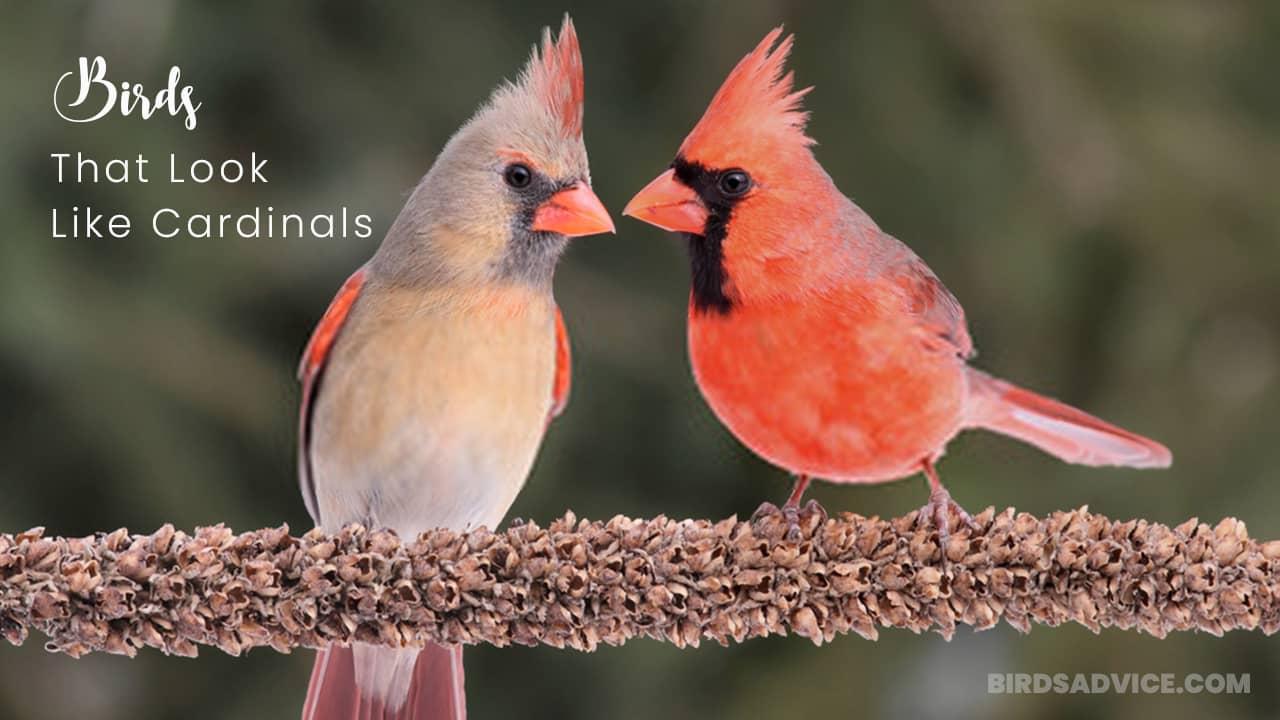 Birds That Look Like Cardinals