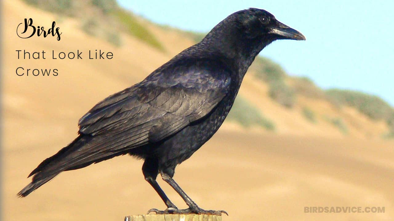10 Birds That Look Like Crows But Aren't | Birds Advice