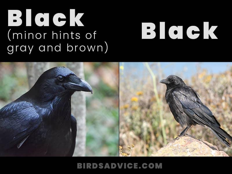 Color crows vs ravens