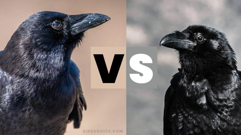 Crows Vs Ravens