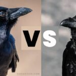 Crows Vs Ravens | What's The Difference?