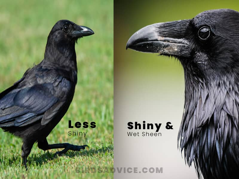 Feather crows vs ravens