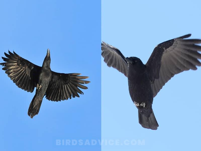 Flight crows vs ravens